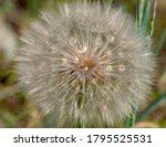Large Common Salsify Seed Head  ...