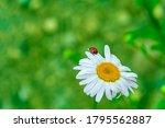 Ladybug On A Beautiful...