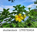 an eye charming yellow flower. | Shutterstock . vector #1795753414