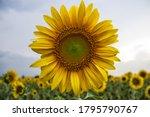 A Sunflower In A Field In Veneto
