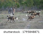 A Pack Of Africa Wilddogs...