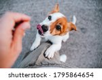 Cute small jack russell terrier ...