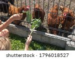 The Children Feed The Chickens...