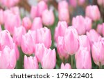 White And Pink Tulip Flower