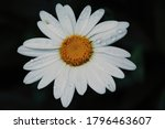 Little Daisy  Close Up With...