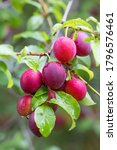 Small photo of Raw red plum mirabelle fruit growing on tree. Prunus domestica, Czech Republic
