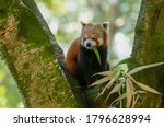 Red Panda Up A Tree With A...