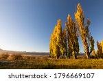 A Stand Of Autumn Colour Poplar ...