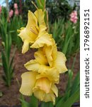 A Yellow Gladiolus Blooming In...