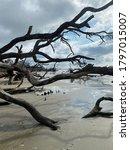 Driftwood Trees On Botany Bay...