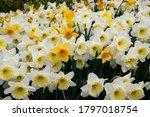 Garden. White And Yellow...