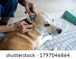 Small photo of Hands of asian woman is checking for fleas and ticks in the dog,looks at tick in dog's ear canal,examination,cleanliness,prevention of SFTS virus or infectious disease from ticks spreading to people