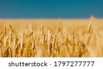 Golden Field Of Ripened Cereal...