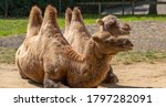 Two bactrian camels laying down ...