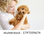 Adorable Toy Poodle Puppy In...