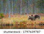 Bear Hidden In Yellow Forest....