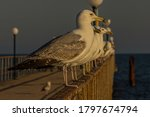 The Caspian Gull  Larus...