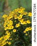 Beautiful Yellow Daisy Flowers...