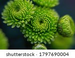 Green Chrysanthemums On A...
