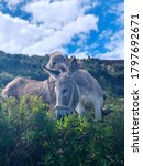 Two Funny Donkeys Graze On The...