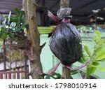 Lemon Tree Stem Grafting...