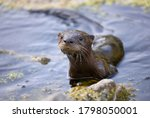Young River Otter Comes Out Of...