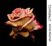 Faded Grimaldi Rose  Isolated...