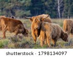 Highland Cattle Is Standing In...
