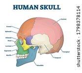 human skull bones skeleton... | Shutterstock .eps vector #1798378114