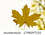 One Yellow Autumnal Maple Leaf...