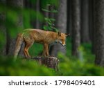 Small photo of Red fox, Vulpes vulpes, in dark green forest. Fox stands on stump and sniffs about prey in green blueberry. Wildlife scene from summer nature. Orange fur coat animal in habitat. Fox is clever beast.
