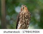Cooper's Hawk Gives Menacing...