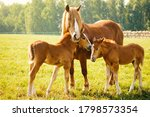 A Horse With Two Foals Is...