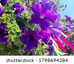 Flower Bed With Purple Petunias ...