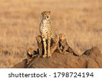 Female Cheetah And Her Four...