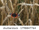European Red Admiral Butterfly  ...