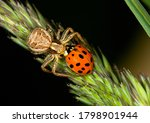 Spider Catching A Red Ladybug...