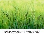 Green Lush Barley And Flowerin...