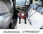 Happy Staffordshire Bull Terrier dog on the back seat of a car with a clip and strap attached to his harness. He is standing on a car seat cover. - stock photo