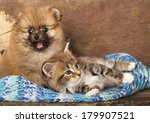 Stock photo spitz puppy and kitten breeds maine coon cat and dog 179907521