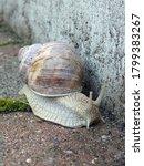 Vineyard Snail On The Journey