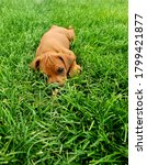 Red Hound Puppy Relaxing In The ...