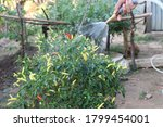 A Man Is Watering Chili Tree In ...