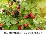 Beautiful Blackberry Species...