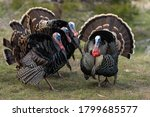 Wild Tom Turkeys Strutting A...