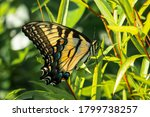 Tiger Swallowtail Butterfly In...