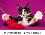 Kitten. Lovely Big Black And...