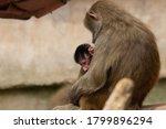 Female Baboon Nursing On The...