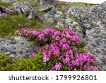 Rhododendrons Bloom In A...