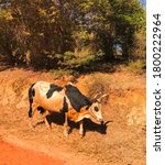 Zebu Is One Of The Symbols Of...